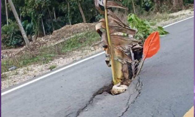 Warga Enrekang Tanam Pohon Pisang di Jalan Ini