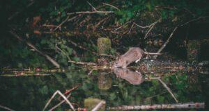 Hama Tikus Menyerang Warga Sidrap