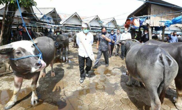 Wisata Toraja Utara, Jadwal, Letak dan Harga Kerbau di Pasar Bolu